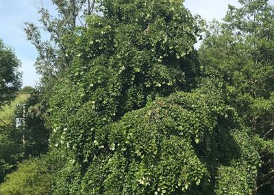 Summer Lime tree