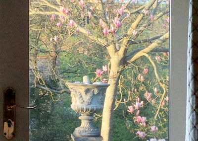 Summer Magnolia stellata in afternoon sun from lounge copy