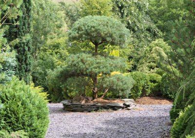 Summer cloud pruned pine 2